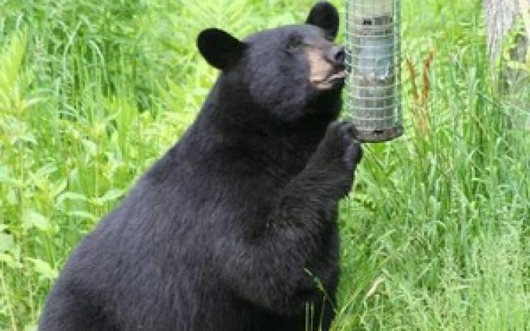 Bear at Birdfeeder